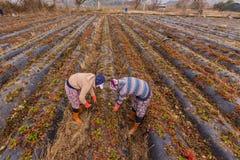 Lavoro di donne agricoltori nei giacimenti della fragola Immagini Stock Libere da Diritti