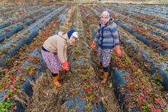 Lavoro di donne agricoltori nei giacimenti della fragola Fotografie Stock
