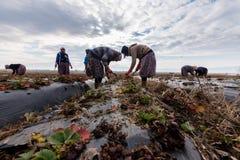 Lavoro di donne agricoltori nei giacimenti della fragola Fotografia Stock