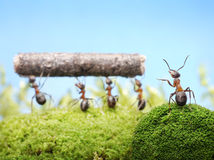 Lavoro di gestione principale delle formiche, lavoro di squadra Fotografie Stock Libere da Diritti