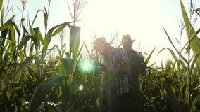Lavoro di gruppo e vittoria Fioritura del ozamatrivayut degli uomini degli agronomi e pannocchie di granturco Gli uomini d'affari video d archivio