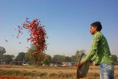 Lavoro di lavoro nel giacimento dei peperoncini rossi Immagini Stock Libere da Diritti