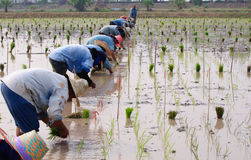 Lavoro di squadra dei coltivatori per trasferire i germogli del riso Immagini Stock Libere da Diritti