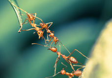 Lavoro di squadra del ponte della formica fotografia stock libera da diritti