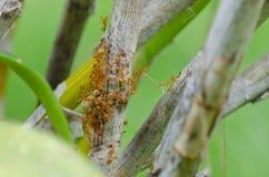 Lavoro di squadra della formica Fotografie Stock Libere da Diritti