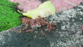 Lavoro di squadra di molte formiche a vicenda che aiuta vigilanza e che controlla che a titolo delle formiche