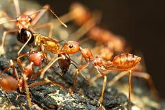 Lavoro di squadra rosso delle formiche Immagine Stock