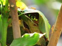 Lavoro di squadra rosso nella natura, nido della formica della formica su un albero Immagini Stock Libere da Diritti