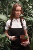 Lavoro femminile del giardiniere in serra Immagini Stock Libere da Diritti