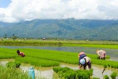 Lavoro manuale della famiglia nelle risaie filippine Fotografie Stock