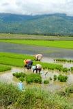 Lavoro manuale femminile nelle risaie filippine Immagine Stock Libera da Diritti