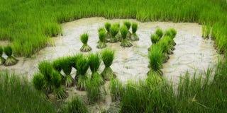 Lavoro nel giacimento del riso Fotografia Stock