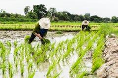 Lavoro nel giacimento del riso Immagini Stock