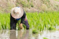 Lavoro nel giacimento del riso Immagine Stock