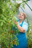 Lavoro senior della donna del pensionato in serra con il pomodoro Fotografia Stock Libera da Diritti
