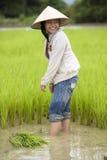 Lavoro sul giacimento del riso, Laos Fotografia Stock