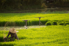 Lavoro tailandese dell'agricoltore nel giacimento del riso Immagini Stock