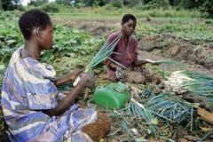 Lavoro ugandese delle donne della produzione alimentare Fotografia Stock Libera da Diritti