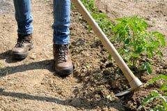 Lavoro in una coltivazione dei pomodori Fotografia Stock Libera da Diritti