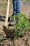 Lavoro in una coltivazione dei pomodori Fotografie Stock