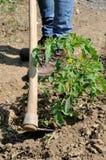 Lavoro in una coltivazione dei pomodori Immagini Stock