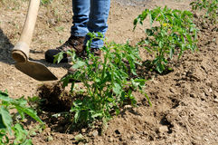 Lavoro in una coltivazione dei pomodori Immagine Stock