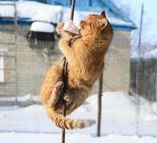 Law of nature, red cat. Winter day, a red cat who is willing to do anything for food Stock Images