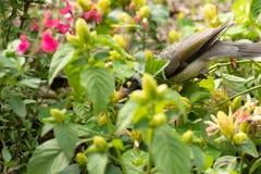 Lawaaierige melanocephala van Manorina van de mijnwerkersvogel royalty-vrije stock afbeelding