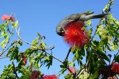 Lawaaierige mijnwerkersvogel, wetenschappelijke melanocephala van naammanorina, die op de nectar van een rode calliandrabloem voe royalty-vrije stock afbeelding