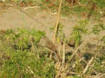 Lawaaierige Onkruidgrasmus stock afbeeldingen