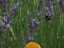 Lawanda kwiaty obrazy royalty free