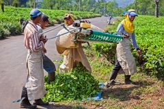 Farmers picking leaves from green shrubs by professional pruning machine. Lawang, Indonesia - July 16, 2018: Indonesian men work hard at highland tea plantation royalty free stock photo