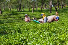 Farmers picking leaves from green shrubs by professional pruning machine. Lawang, Indonesia - July 16, 2018: Indonesian men work hard at highland tea plantation stock images
