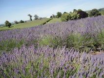 Lawend pola przy Nowa Zelandia 1 Fotografia Royalty Free