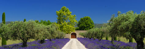 Lawend pola w Provence obrazy royalty free