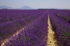 Lawend pola w Provence Fotografia Royalty Free