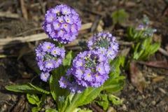Lawenda coloured odwiecznie Primula Denticulata kwitnie providing wybuch colour w ogródzie w wczesnej wiośnie Obraz Stock