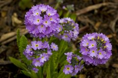 Lawenda coloured odwiecznie Primula Denticulata kwitnie providing wybuch colour w ogródzie w wczesnej wiośnie Zdjęcia Royalty Free