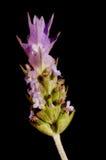lawenda czerni tła kwiat Obraz Stock