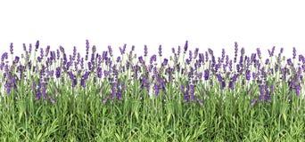 Lawenda kwiatów Świeża lawenda zasadza odosobnionego białego tło Zdjęcie Royalty Free