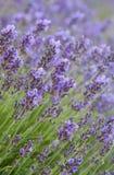 Lawenda kwiaty Zdjęcie Royalty Free