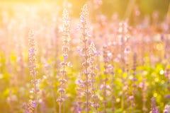 Lawenda kwiaty Fotografia Stock