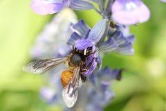 Lawenda kwiaty kwitnie w ogródzie i pszczołach zbierają nec Fotografia Stock