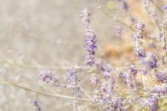 Lawenda Kwitn?cy purpurowi lawenda kwiaty i ? zdjęcia stock
