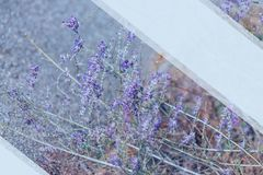 Lawenda Kwitn?cy purpurowi lawenda kwiaty i zielona trawa w polach lub ??kach Mockup dla teksta obraz stock