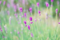Lawenda Kwitnie kwitnienie Purpury pole kwitnie tło Czuli lawenda kwiaty Fotografia Stock