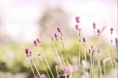 Lawenda Kwitnie kwitnienie Purpury pole kwitnie tło Czuli lawenda kwiaty Obrazy Royalty Free