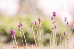Lawenda Kwitnie kwitnienie Purpury pole kwitnie tło Czuli lawenda kwiaty Fotografia Royalty Free