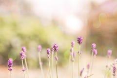 Lawenda Kwitnie kwitnienie Purpury pole kwitnie tło Czuli lawenda kwiaty Obrazy Stock