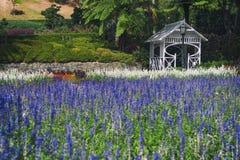 Lawenda kwitnie przy Wellington ogródem botanicznym, Nowa Zelandia Obraz Stock